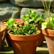 Clay Pots in Nursery
